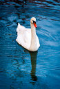 Beautiful white swan Royalty Free Stock Images