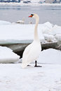 Beautiful white swan Stock Photography