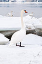 Beautiful white swan Royalty Free Stock Photo