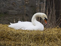 Beautiful white swan resting on a nest Royalty Free Stock Image