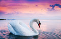 Beautiful white swan swans floating at sunset Stock Images