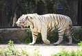 Beautiful white tiger in a cage. Royalty Free Stock Photography