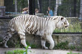 Beautiful white tiger in a cage novosibirsk zoo russia Stock Image