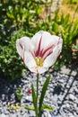 Beautiful white tulip closeup on a green garden Royalty Free Stock Photo