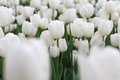 Beautiful white tulips flowerbed closeup. Flower background