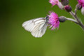 A beautiful white winged butterfly on a flower Royalty Free Stock Photo