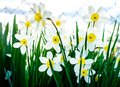 Beautiful white and yellow daffodils in garden Royalty Free Stock Photo