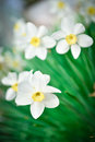 Beautiful White and yellow daffodils. Yellow and white narcissus Royalty Free Stock Photo