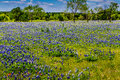 A beautiful wide angle view of a texas field blanketed with the famous texas bluebonnets bluebonnet lupinus texensis wildflowers Stock Photo