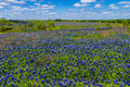 A beautiful wide angle view of a thick blanket of texas bluebonnets in a texas country meadow with blue skies thickly blanketed Royalty Free Stock Photography