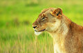 Beautiful wild african lioness Royalty Free Stock Photos