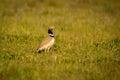 Beautiful wild bird in the meadow.