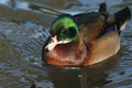 A beautiful wild cross breed Wood Duck or Carolina duck Aix sponsa male swimming on a river. Royalty Free Stock Photo
