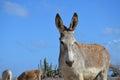 Beautiful Wild Donkey with Blue Skies Royalty Free Stock Photo