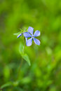 Beautiful wild flower lonely vinca minor Stock Photos