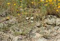 Beautiful wild flowers - a part of the superbloom phenomena in the Walker Canyon mountain range near Lake Elsinore