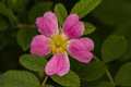 Beautiful wild rose on a natural background