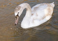Beautiful wild swan in river Royalty Free Stock Photo