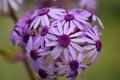 Beautiful Wildflowers, Perical...