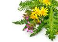 Beautiful wildflowers, yellow chamomiles, milfoil Royalty Free Stock Photo