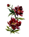 Beautiful wine red peonies on white background. Watercolor painting