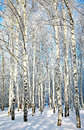 Beautiful winter birches in sunlight Stock Photography