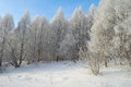Beautiful winter landscape in forest with larches hoarfrost covered Royalty Free Stock Image