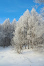 Beautiful winter landscape in forest with larches hoarfrost covered Royalty Free Stock Photos