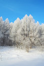 Beautiful winter landscape in forest with larches hoarfrost covered Stock Image