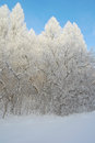 Beautiful winter landscape in forest with larches hoarfrost covered Stock Photos