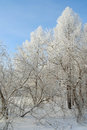 Beautiful winter landscape in forest with trees hoarfrost covered Royalty Free Stock Image