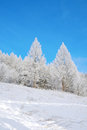 Beautiful winter landscape with larches hoarfrost covered Royalty Free Stock Image