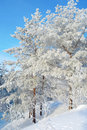 Beautiful winter landscape pines snow covered on the hill Stock Photos