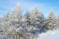 Beautiful winter landscape snow covered pines Stock Images