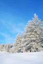 Beautiful winter landscape snow covered pines Royalty Free Stock Photography