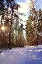 Beautiful winter landscape with snow covered trees in a sunny day.Frosty trees in snowy forest. Royalty Free Stock Photo
