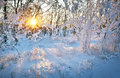 Beautiful winter landscape at sunset with trees in snow and sun Royalty Free Stock Photo