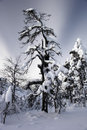 Beautiful wintry scenery lot snow trees big forrest onset winter finnish lapland finland Royalty Free Stock Photo