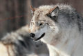 Beautiful wolf gray in nature during winter Royalty Free Stock Images