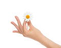 Beautiful woman french manicured hand with fresh camomile daisy Royalty Free Stock Photo