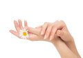 Beautiful woman hands french manicure with camomile flower Royalty Free Stock Photo