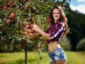 Beautiful woman picking apples closeup of sexy in the orchard Royalty Free Stock Photos