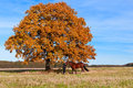 Beautiful woman walking with horse and mighty oak tree as background Royalty Free Stock Image