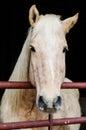 Beautiful Work Horse Royalty Free Stock Photo