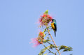 A beautiful yellow bellied sunbird the sunbirds are small birds that feed largely on nectar Stock Photo