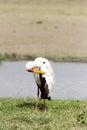 Beautiful Yellow Billed Stork ...