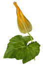 Beautiful yellow bud of pumpkin, isolated on white background Royalty Free Stock Photo