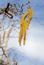 Beautiful yellow catkins Royalty Free Stock Photo