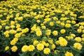 Beautiful Yellow Chrysanthemum flower Garden abstract background Royalty Free Stock Photo