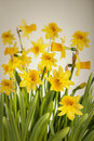 Beautiful Yellow Daffodils flowers background Royalty Free Stock Images